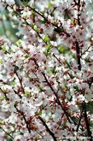 Flowering Cherry Shrub - ozark u2014 locallygrown net