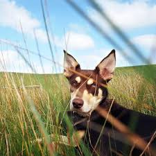 Bench Kelpie Puppies Sale Kelpie Lovers Beware Your Own Red Dog Comes With Hard Work Abc