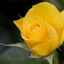 golden roses golden fragrance candlescience