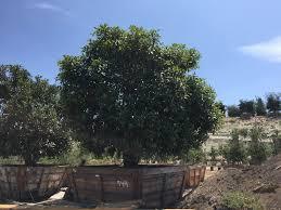 ficus tree 949 jacinto farms trees