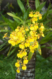oncidium orchid yellow oncidium orchid flower oncidium flexuosum sims stock