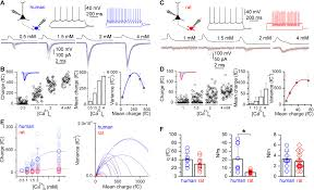 human pyramidal to interneuron synapses are mediated by multi