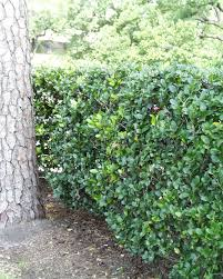 hedging plants budget wholesale nursery images of flowering bushes shrubs hedge plants small medium
