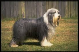 bearded collie adoption bearded collie puppies and dogs for sale in usa