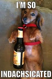 Dachshund Meme - in honor of my cakeday here is a drunk dachshund funny