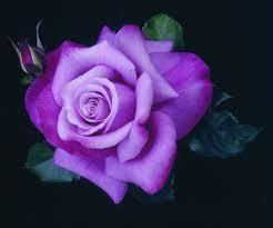 purple roses beautiful purple flower 2422 flowers hd desktop wallpaper