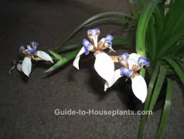 Irises How To Plant Grow by Walking Iris Plant Care Neomarica Spp