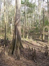 cypress knee wikipedia
