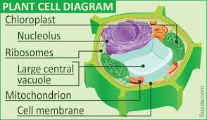which plant cell organelle uses light energy to produce sugar a labeled diagram of the plant cell and functions of its organelles