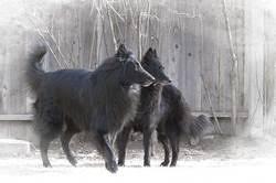 belgian sheepdog training guide about belgians omg onyx mountain groenendaels