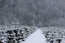 take your pick of whatcom county u0027s bountiful christmas tree farms