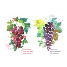 clipart watercolour grapes grapes red grapes black digital