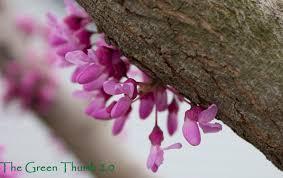 eastern redbud aka the judas tree the green thumb 2 0