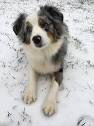 australian shepherd 1 year old forever photos and info