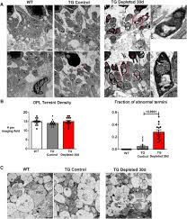 requirement for microglia for the maintenance of synaptic function