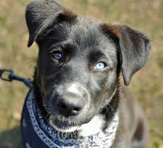 australian shepherd husky lab mix this dog danielle is a husky lab mix she is 2 months old and up