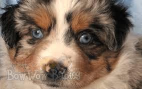 australian shepherd nose toy australian shepherd puppy info bowwow babies