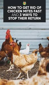How Do I Get Rid Of Rabbits In My Backyard 3 Ways To Get Rid Of Chicken Mites Fast And Stop Their Return