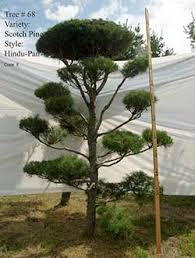 topiary trees live topiary trees real scotch pine and white pine topiary trees
