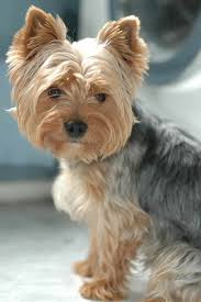 yorkie haircuts pictures only awesome pics yorkie photo fur babies pinterest yorkies