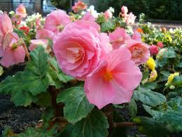 pink tuber begonia hybrid how to grow https www houseplant411