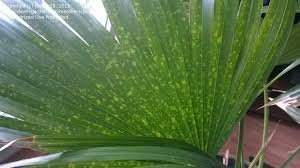 Plant Disease Diagnosis - plant identification seeking identity of palm and disease