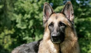 belgian sheepdog size and weight german shepherd dog breed information