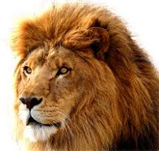 male lion wallpapers 10 different types of lions with fact and pictures lion lions