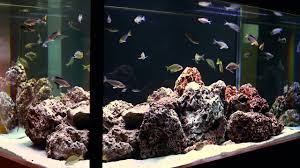 simple beauty of tanganyikan fish a hardscape by aquarium design