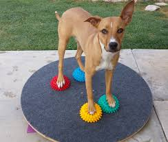 standing on paw pods while rocking on a wobble board canine