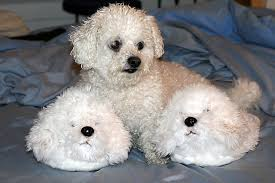 poodle y bichon frise want to adopt a bichon frise dog pros u0026 cons of bichon dogs the
