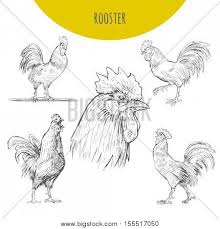rooster sketch set vector vector u0026 photo bigstock