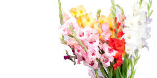 Flowers Of The Month August Flower Of The Month Gladiolus U2014 House By The Side Of The Road