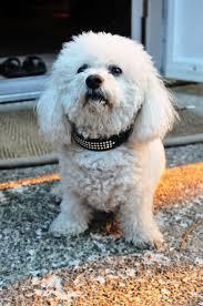 bichon frise years bichon frise dog breed information