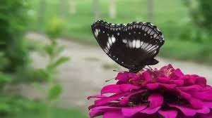 1080p hd beautiful butterfly and flowers background