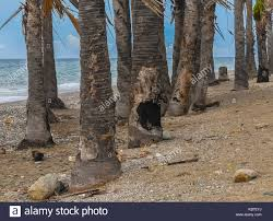 Trees Worldwide Coconut Trees At The Dili Jan 2 2017 Dili Stock Photo