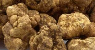 italian truffles white italian truffle resource smart kitchen online cooking