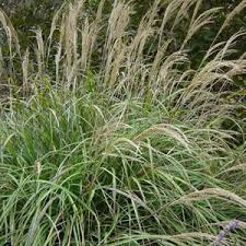 ornamental grasses seed farmer seeds