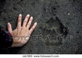 stock photography of gray wolf paw print reb1850 search stock
