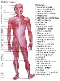 Pictures Of Human Anatomy Organs List Of Skeletal Muscles Of The Human Body Wikipedia