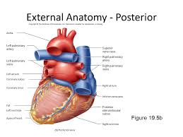 External Heart Anatomy Chapter 9 Cardiac Physiology Ppt Download