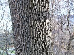 isu forestry extension tree identification white ash fraxinus