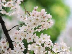 add garden drama with an ornamental tree hgtv