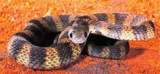 tiger snake snake catcher gold coast u0026 brisbane