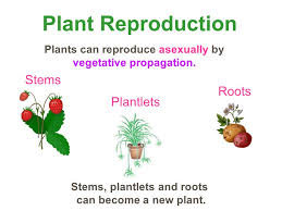 Vegetative Propagation By Roots - leaves function photosynthesis transpiration u2013 pulling water up
