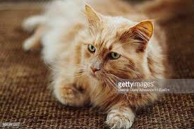 Cat Laying On Glass Table Maine Coon Cat Stock Photos And Pictures Getty Images