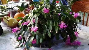 thanksgiving cactus in bloom again