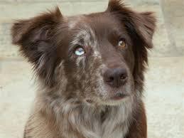 dirty south australian shepherds 17 best images about the versatile farm dog on pinterest