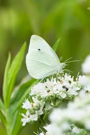 cabbage white butterfly white butterfly cabbage and butterfly