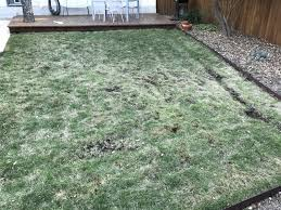 recurrent winter spring zoysia issues lawnsite